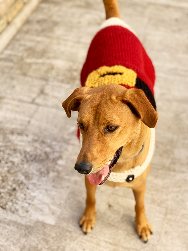 large dog wearing a knitted coat