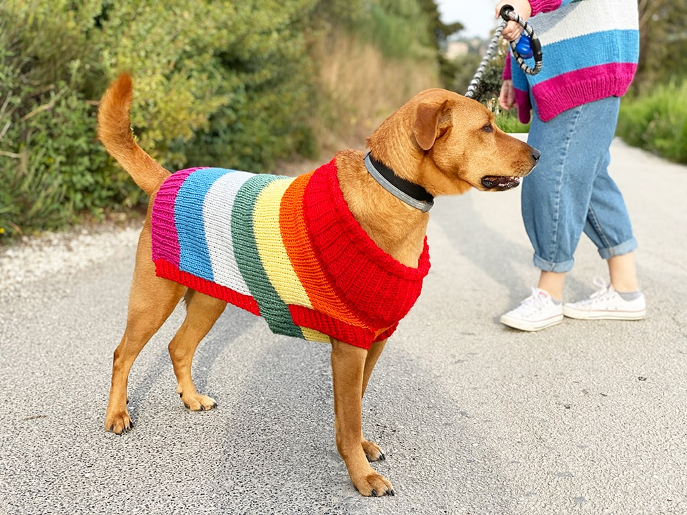 dog wearing a knitted rainbow sweater