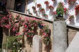 Geranium in Cordoba