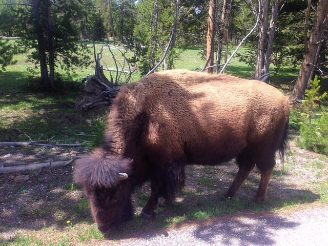 Close Up of Yellowstone Buffalo