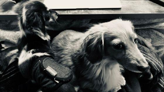 犬,ミニチュアダックス
