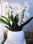 fehér orchidea hatalmas óriás gömb kaspóban