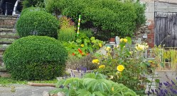 Nasturtiums in the herb garden.