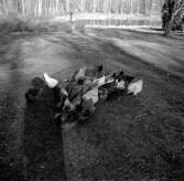 farm chickens edited2