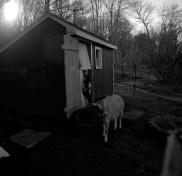 farm goats edited1