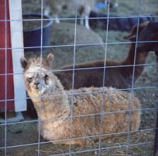 farm hans alpaca edited