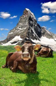 Zwitserse koe bezig met de productie van A2-melk