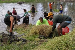 In addition to discussion and Q&A, attendees at the Kaʻa I Ka Lawa capacity-building workshop also participated in a work project at Loko Ea where they learned about the loko iʻa (fishpond) restoration efforts happening there. Photo credit: Kim Moa (KUA)