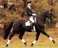 State Stud Stallion Salvano '84, (by Salem out of Dina by Dynamo ex Elfi by Eger II, a full sister to Dynamit).In his 1987 performance test Salvano was 5th of 40 with a score of 120.05 points.