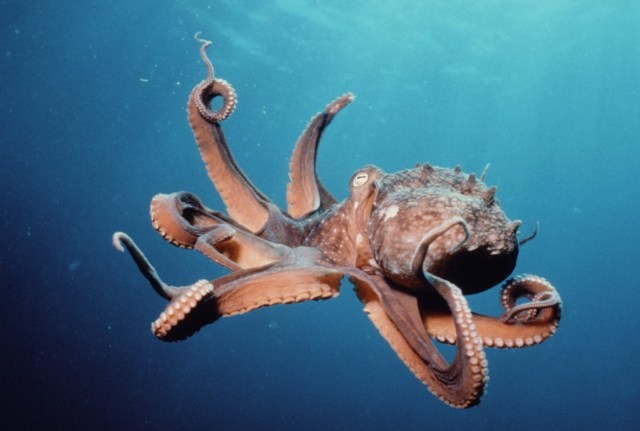 One of the Bilateria: The Octopus