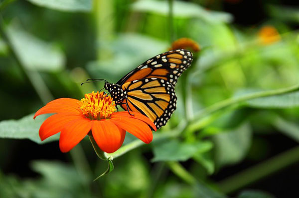 Butterfly | Hansen-Spear Funeral Home - Quincy, Illinois