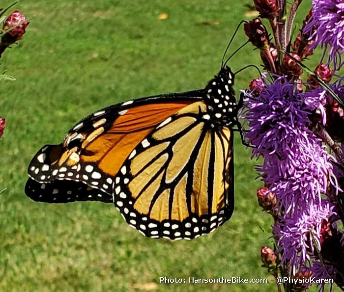 Monarchs in Orillia