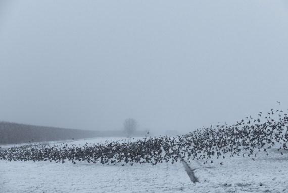 spreeuwen in de sneeuw