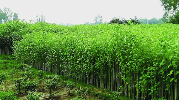 jute-cultivation