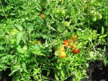 Tomato garden.
