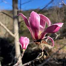 Magnolias at Quarryhill Gardens
