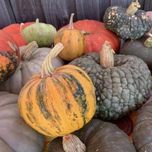 Pumpkins at Bees N Blooms Farm
