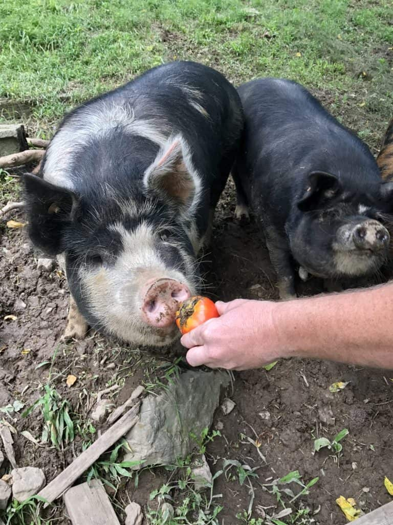 Idaho Pasture Pig Sow