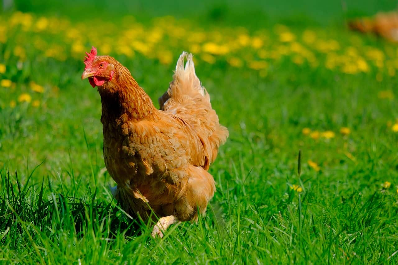 Healthy Nutrition for Chickens
