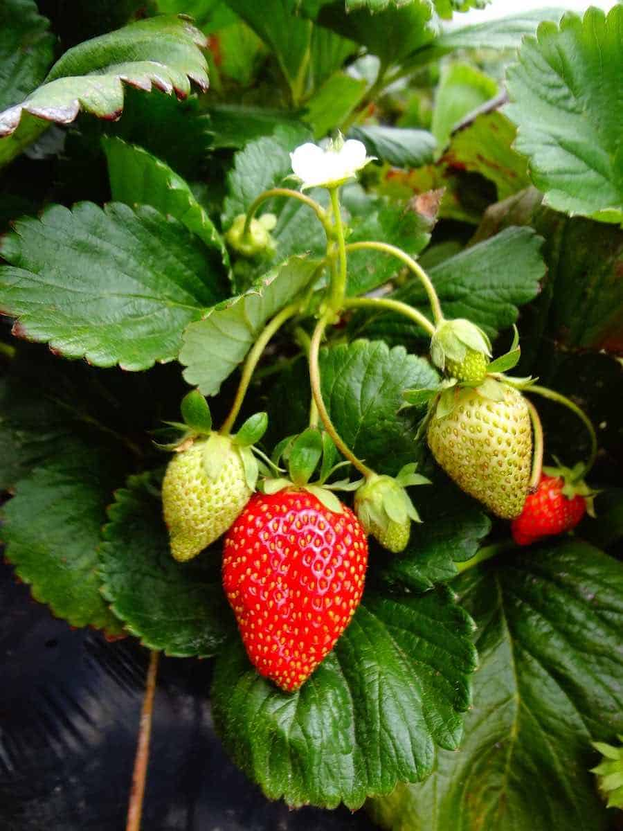 Strawberry Container garden