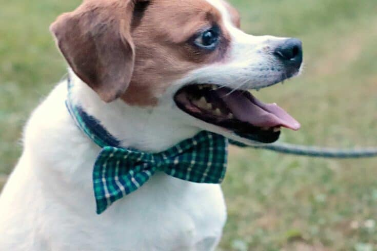 How To Sew A Dog Bowtie Create Card