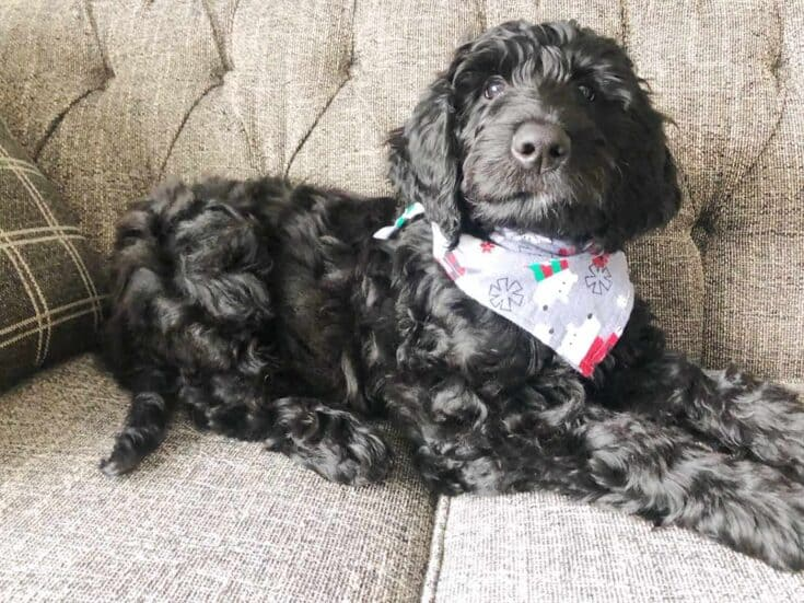 How to sew a Dog Bandana Completed