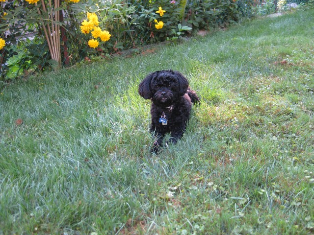 Pet Microchip – can help find your lost dog