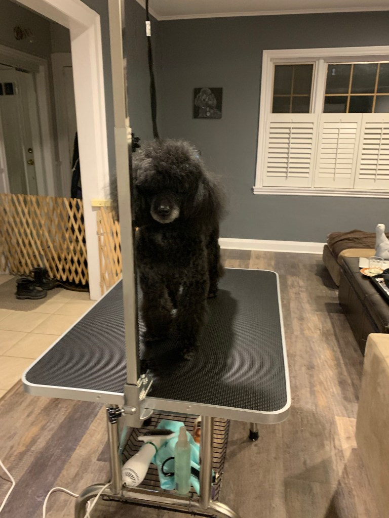 Poodle blow-dried on a dog grooming table.