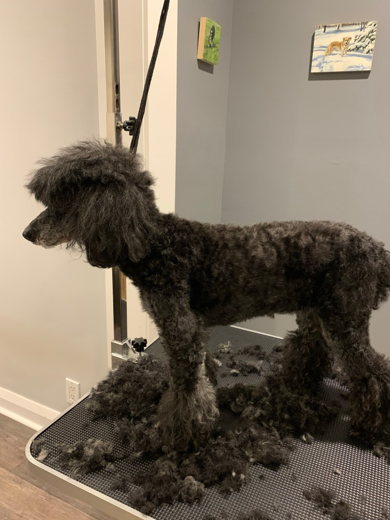 Poodle body and face groomed on a home dog grooming table.