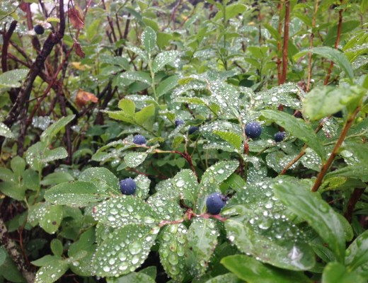 North Shore blueberry bushes