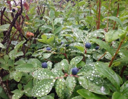 North Shore blueberry bushes
