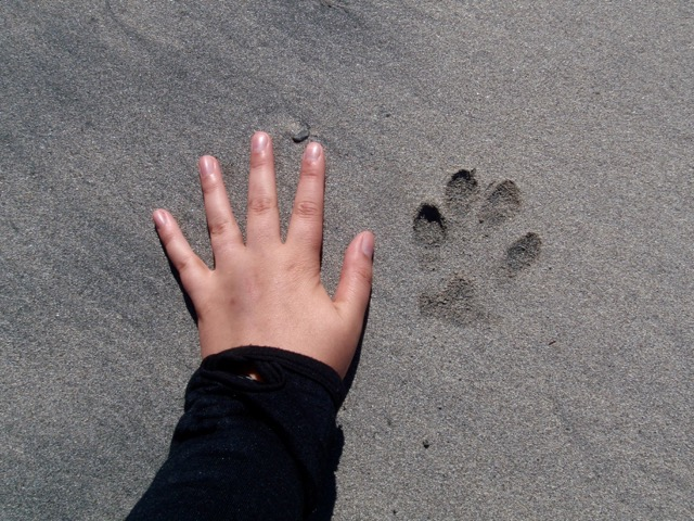 Wolf prints on the Nootka Trail
