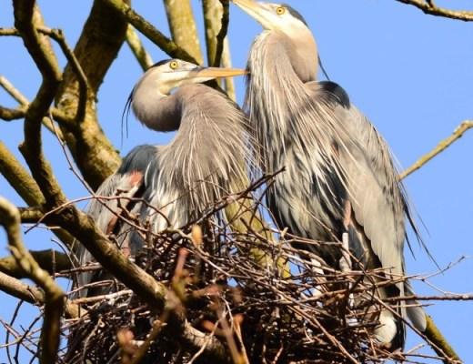 Vancouver Wildlife viewing - heron cam