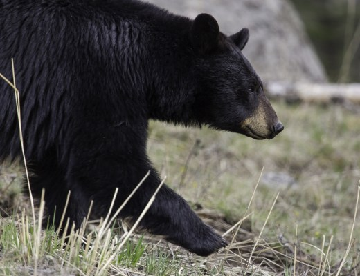 Black bear walking. Bear safety tips for campers, hikers and backpackers.