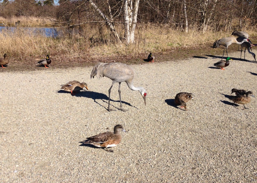 A giant Sand Hill Crane next to some rather ordinary ducks at the Reifel Migratory Bird Sanctuary in Delta. Just one of 15 unusual hikes near Vancouver.