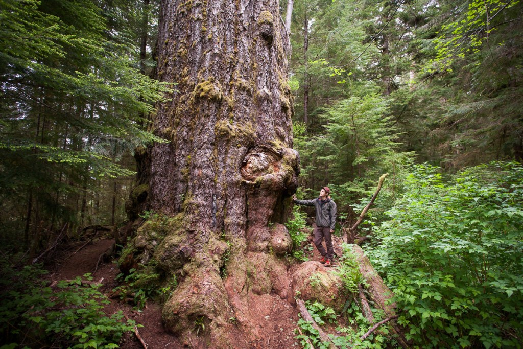 The Red Creek Fir. Visit Big Lonely Doug, Avatar Grove and the other big trees near Port Renfrew, British Columbia.