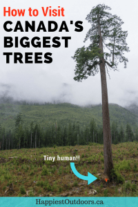 How to visit Canada's biggest trees in Port Renfrew, British Columbia on Vancouver Island. Visit Avatar Grove, Big Lonely Doug and more giant old growth trees. #Canada #BritishColumbia #BigLonelyDoug