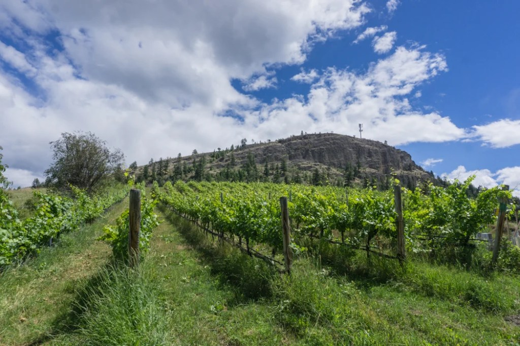 Vineyard behind Saxon Estate Winery in Summerland, BC. Explore Summerland's wineries by bike with this self-guided tour.