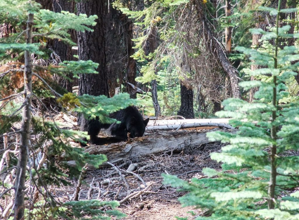 Spotting a black bear near the Lakes Trail in Sequoia National Park- just one of many things to do in Sequoia and Kings Canyon National Parks.