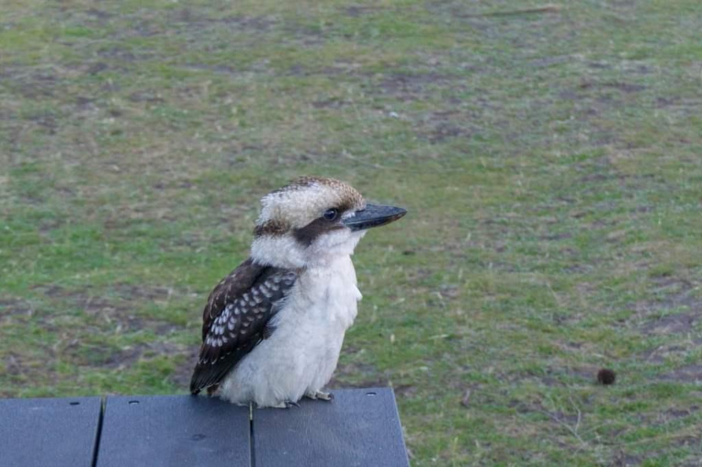 Kookaburra in Tasmania, Australia