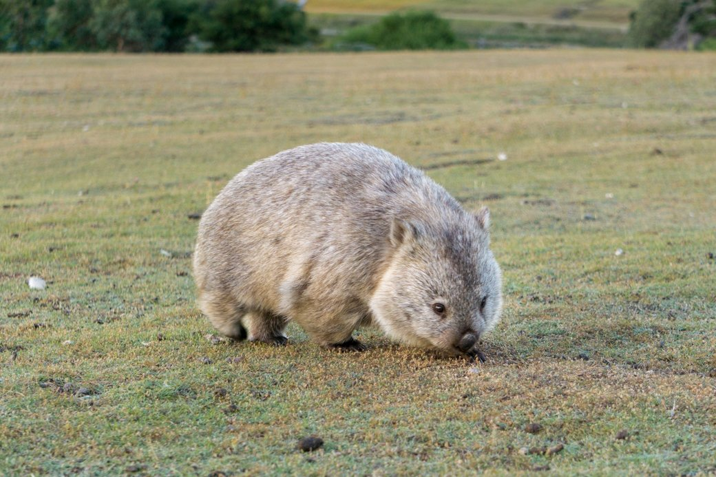 A wombat on Maria Island in Tasmania. One of the best places to see Wildlife in Tasmania, Australia.