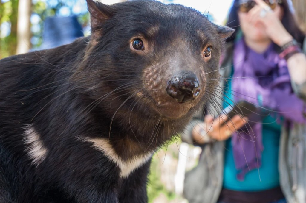 Tasmanian Devil at Trowunna Wildlife Sanctuary near Mole Creek in Tasmania's North West. Just one of over 40 things to do in Devonport and Tasmania's North West.