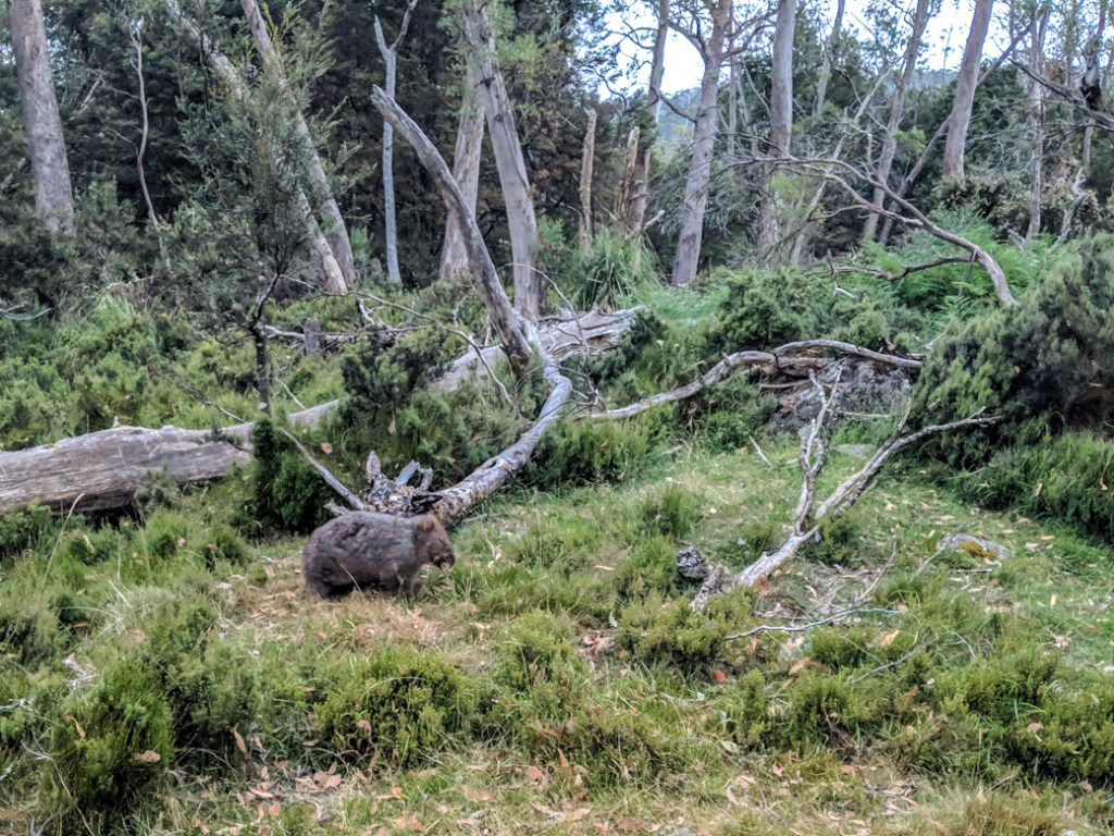 A wombat on the Overland track in Cradle Mountain National Park, one of the best places to see wildlife in Tasmania