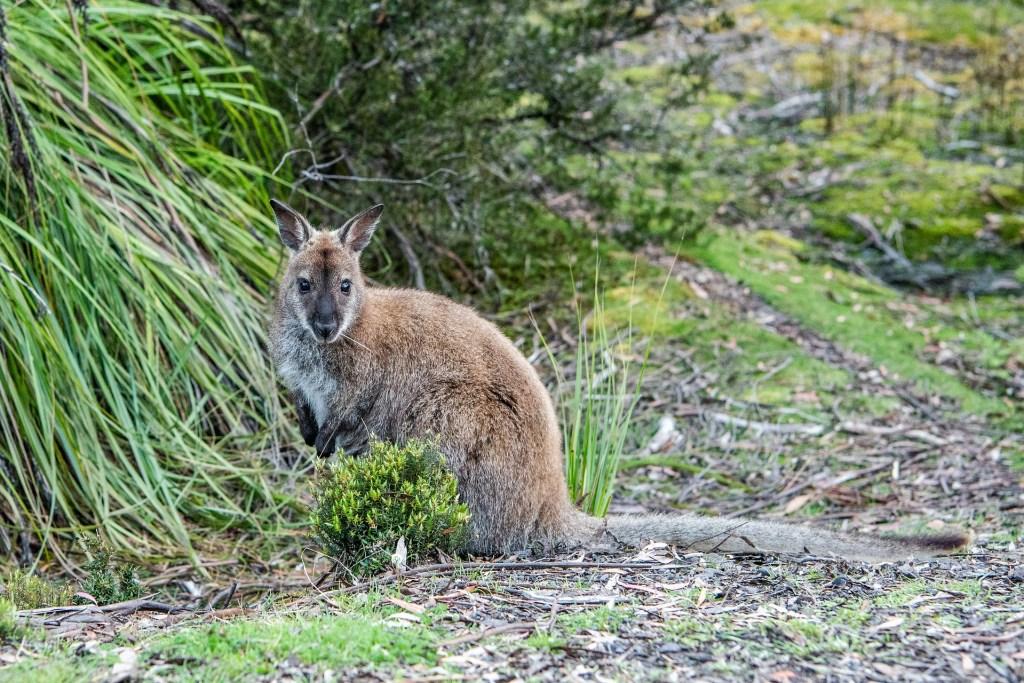Bennett's Wallaby in Tasmania, Australia