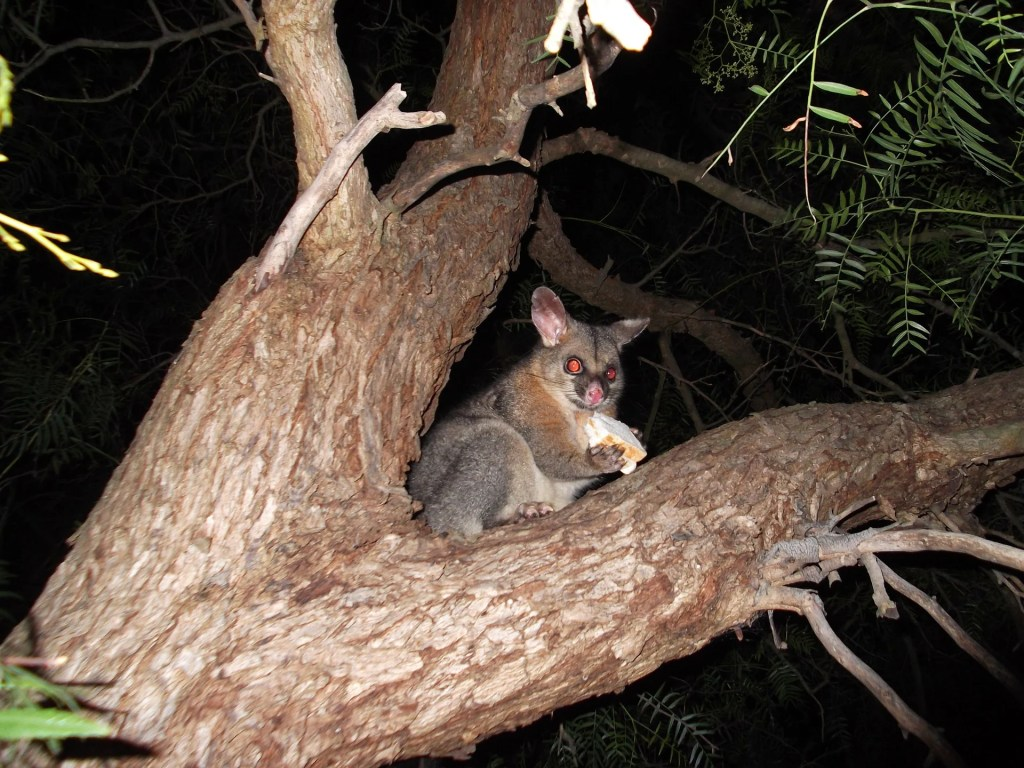 Brushtail possum in Tasmania, Australia
