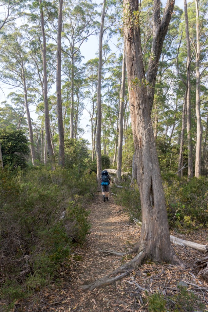 The sixth Overland Track section from Windy Ridge to Narcissus has lots of flat forest walking.