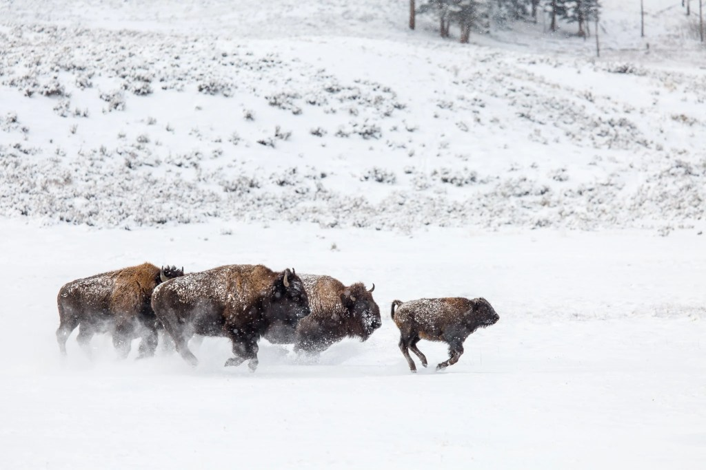 Bison run through the snow in Yellowstone National Park