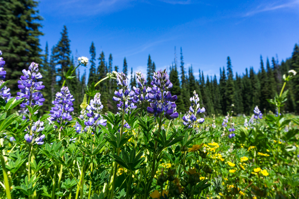Lupines and wildflowers at Poland Lake in Manning Park. A wildflower identification book is a great Valentine's gifts for hikers and campers.