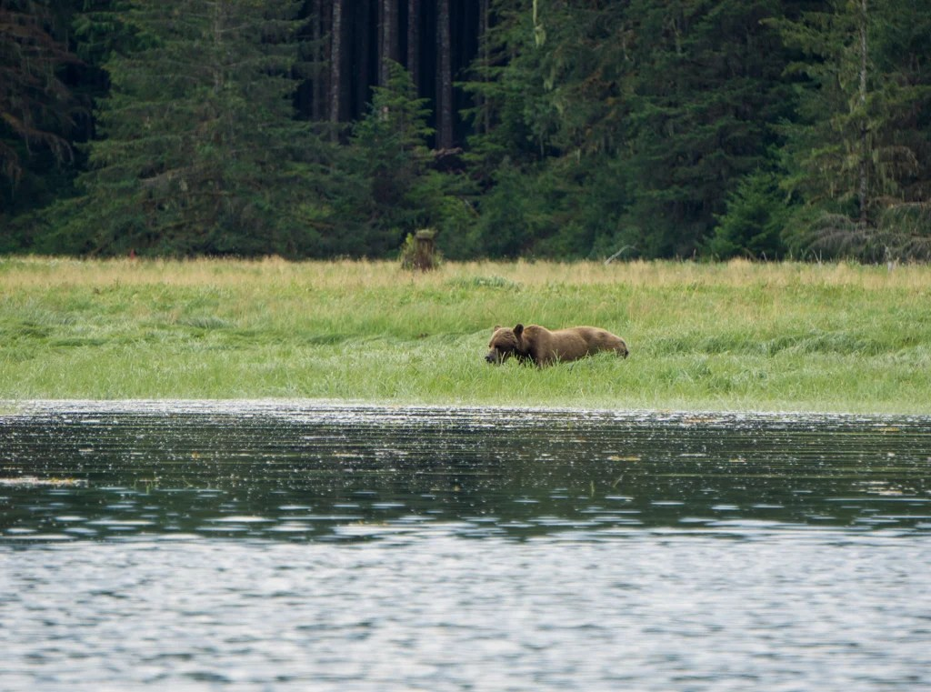 A large grizzly bear grazes on grass and sedge in an estuary in Knight Inlet