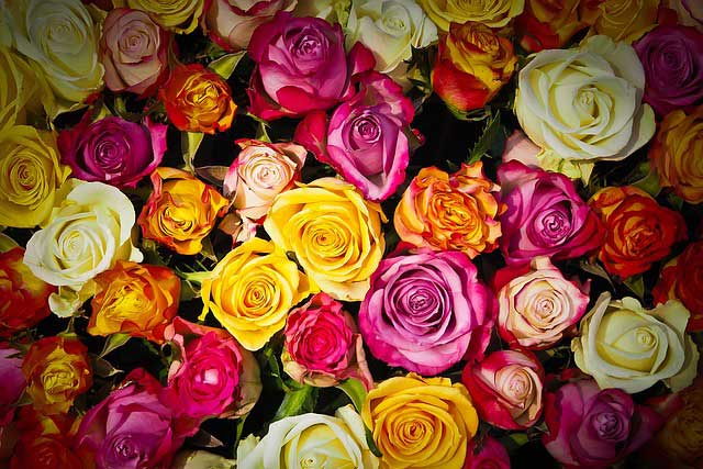 A Rose For Every Occasion, Which One You Should Choose